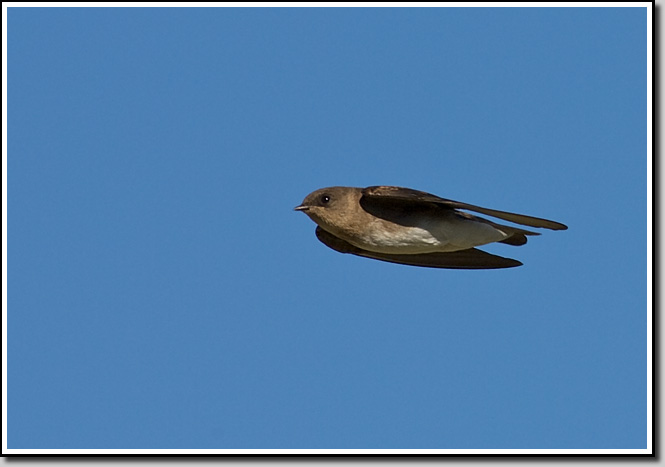Northern RW Swallow